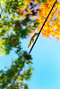 The Illustration of Autumn - line art (Howard L.) Tags: squirrel queensbotanicalgarden autumn foliage wire acrobatic climbing sony2470mmf1828 dscrx100m4
