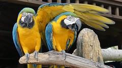 Polly want a hug?! How awesome is this pic! 😁😆 Taken on my Panasonic FZ330 #parrot #bird #birdsofinstagram #panasonic #fz330 #wildlifephotography #wildlife #gatorland #florida #colors #photographyeveryday #potd #instalike #instagood #adventu (thomasthornton) Tags: photographyeveryday instalike birdsofinstagram animalsofinstagram panasonic wildlife bird florida potd gatorland instagood colors adventure parrot sunglasses wildlifephotography fz330