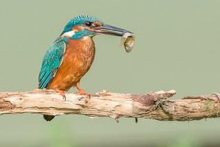 DSC6456  Kingfisher...