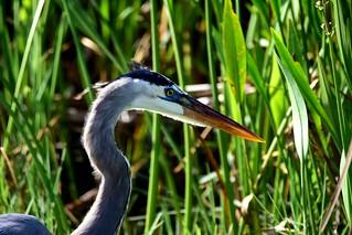 Great Blue Heron  DSC_9571