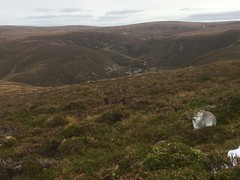 Mountain Hare (KHR Images) Tags: mountainhare lepustimidus wild mammal scottish highlands findhornvalley native species wildlife nature iphone se kevinrobson khrimages