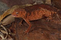 Centralian Knob-tailed Gecko (Nephrurus amyae) (jakemeney) Tags: centralian knob tailed gecko nephrurus amyae lizard reptile herpetofauna jake meney