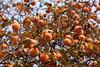 I cachi sul caco (STE) Tags: caco kaki cachi diospyros persimmon arancione orange albero tree rami branches frutti frutta fruit fruits autunno autumn tamron90