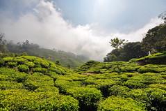 India - Kerala - Munnar - Tea Plantagen - 212 (asienman) Tags: india kerala munnar teaplantagen asienmanphotography