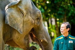 Female Asian elephant and keeper
