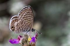 Marine blue (jim_mcculloch) Tags: d855356 butterflies lepidoptera