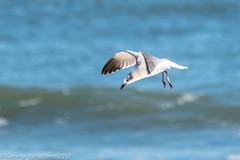 Laughing Gull (gvall66) Tags: d500 gull ibsp islandbeachstatepark laughinggull nj nikon sigma150500