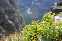 Roseroot // Rhodiola rosea // Rosenrot