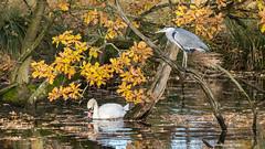 Birds of a different feather... (Maria-H) Tags: greyheron dunhammassey england unitedkingdom gb ardeacinerea muteswan cygnusolor autumn cheshire uk olympus omdem1markii panasonic 100400