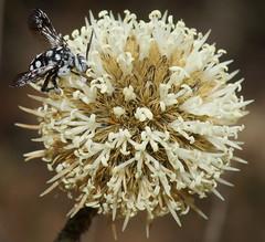 Cuckoo Bee feeding (ron_n_beths pics) Tags: westernaustralia perthbushlands apidae cuckoobee
