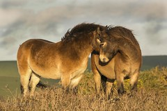 Exmoor Ponies on Beachy Head (PeterBrooksPhotography) Tags: beachyhead d5200 eastsussex eastbourne eveninglight exmoor grass hills horse nikon peterbrooksphotography ponie season sigma120400 southdowns sun sunset sussex uk wildlife winter habitat mammal ©peterbrooks