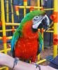 Key West (Florida) Trip 2016 0560Ri 5x6 (edgarandron - Busy!) Tags: florida keys floridakeys keywest bird birds macaw macaws nancyforrester nancyforresterssecretgarden secretgarden alittlebeauty coth5