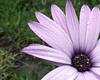 African daisy (tolldubh) Tags: africandaisy daisy