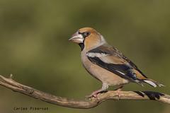 Durbec, Picogordo, Hawfinch (Coccothraustes coccothraustes). Male (Carles Pibernat) Tags: