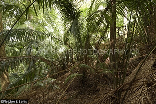 40812 Palm thicket in the understory of coastal hill rainforest, Perak, Malaysia