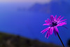 """SDIM4772-sd1- """"Anemone hortensis"""" - voigtlander color skopar 67mm f5.6 (enlarging lens). (ciro.pane) Tags: sigma sd1 merrill foveon promontorio punta campanella fioritura anemone selvatico hortensis prime luci mattino notte piovosa colori contributo sfocato bokeh voigtalder color skopar enlarging lens"""