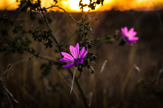 Flowers at sunset...