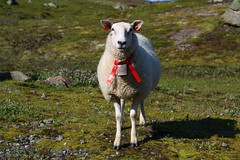 Tie style (annazelei) Tags: grass field sheep animal norway fauna outdoor xmas tie hair nature natura naturaleza canon eos flickr cute red green portrait summer july pose poser face