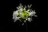 Bright White (- Jan van Dijk -) Tags: fullsun background fiori fleur bloem blumen agapanthus flora nature natuur white bright