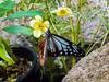 Parantica sita, アサギマダラ (yuyugreen) Tags: japan osaka 日本 大阪 butterfly 蝶 insect 昆虫 虫