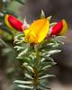 Dense Phyllota (Phyllota squarrosa) ([S u m m i t] s c a p e) Tags: bluemountains densephyllota fabaceae leura mthayroad phyllotasquarrosa nativeplants red summer yellow