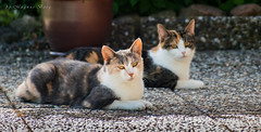 Pussel and Majsan on a lazy afternoon (m3dborg) Tags: cats cat animal animals outdoor outdoors natur domestic kitty pet pets