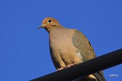 Mourning Dove (jt893x) Tags: 150600mm bird d500 dove jt893x mourningdove nikon nikond500 sigma sigma150600mmf563dgoshsms zenaidamacroura thesunshinegroup alittlebeauty coth specanimal