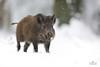 Wild boar (Arron Roberts Photography) Tags: uk winterwatch springwatch cold winter white snow forestofdean forest hog pig boar wild canon nature