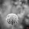 The Hole Thing (Mitymous) Tags: bw fall2017 gray seedpods walk wisconsin