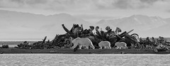 Polar Bears walking past the Bone Pile (TrekLightly) Tags: kaktovik alaska unitedstates us anwr arctic wildlife barter island bear icebear arcticnationalwildliferefuge polarbear ursusmaritimus brooksrange bw blackandwhite nature naturalhabitatadventures nathab