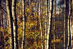 DSC_1852 (FMAG) Tags: 2017 żabieniec zalesie jesien