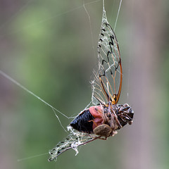 Tied up for tea (OzzRod) Tags: pentax k1 smcpentaxdfa100mmf28 animal insect orb spider web cicada newcastle australia