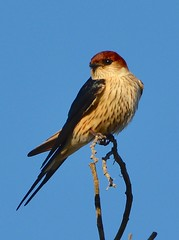 Greater Striped Swallow Gondwana (peterleanranger) Tags: nikonpassion fantasticnature fantasticwildlife fantastic nature wildlife africas southafrica mosselbaai mosselbay gondwana gondwanagamereserve cecropis cucullata cecropiscucullata hirundinidae passeriformes swallow greaterstripedswallow aves