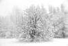 Where I live. (Dikke Biggie.) Tags: 52in2017 32whereilive whereilive waarikwoon tree trees boom bomen snow sneeuw winter winterlandscape winterlandschap blackandwhite bw black white zwartwit zw zwart wit monochrome monochroom landgoedterwerve rijswijk canon canong1xmarkii canonnl dgawc