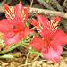 Alstroemeria sp. / Chile