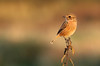 1 Female Stonechat, Crisp golden autumn afternoon at Oare KWT nature reserve (Jim_Higham) Tags: oare kwt nature reserve kentwildlifetrust wild wildlife natural kent england english british britain uk eu europe