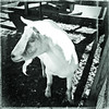( Every goat must have his day ) (Wandering Dom) Tags: goat being life time existence reality dream humans earth roam wandering pen enclosure greatbrook farm