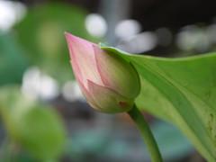 Sacred Lotus 'Fen Ling Long 13' Wahgarden Thailand 009 (Klong15 Waterlily) Tags: lotus thailandlotus flower lotusflower pond pondplant landscape nelumbonucifera