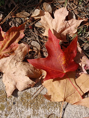 A crimson maple leaf in the litter (greyloch) Tags: fall leaves colorful autumn beautiful red crimson maple canonrebelt6s niksoftware 2017 canonef50mm