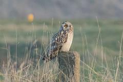 _W4A1510 Short-eared Owl (Asio flammeus) (ajmatthehiddenhouse) Tags: kent worthmarshes uk 2017 bird asioflammeus asio flammeus shortearedowl globalbirdtrekkers