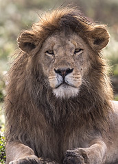 It ain't easy being King (tkfranzen) Tags: lion pantheraleo bigcat bigfive tanzania africansafari africanwildlife africanlion roysafaris tnclivenature animalplanet canon