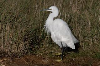 Little Egret-113