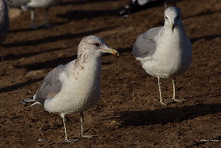 California Gull, Goleta, CA CQ4A9297
