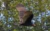_U7A1913 (rpealit) Tags: scenery wildlife nature wallkill river national refuge turkey vulture bird