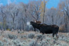 Morning Breath (Amy Hudechek Photography) Tags: bull moose morning breath cold freezing bluehour twilight wildlife nature gtnp grand teton national park monday nikond500 nikon200500f56 amyhudechek