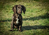 Meet Cadbury (Ruth S Hart) Tags: springerspaniel puppy puerbred pedigree expression nikon nikon70200mm nikond700 hainault uk essex london dog ©ruthshart aperturepriority