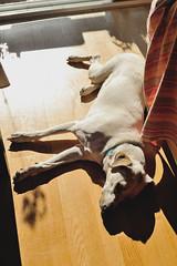sunworshipper #IceTheDog (Gail at Large | Image Legacy) Tags: 2017 casaaguiar icethedog maia portugal portuguesekitchen arrozdepolvo gailatlargecom makingoctopusrice octopusrice