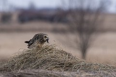 (Rick 2025) Tags: birds raptors owls shortearedowls dinner wolfeisland sunset