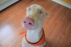DSC_0001 (justinluv) Tags: prima doberman whitedoberman albinodoberman dobermanpinscher dobe dobie puppy