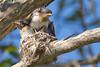 Leaden Flycatcher - A Day In The Life (petefeats) Tags: australia birds brisbane leadenflycatcher monarchidae myiagrarubecula nature passeriformes queensland sandycamproadwetlands wynnum nest